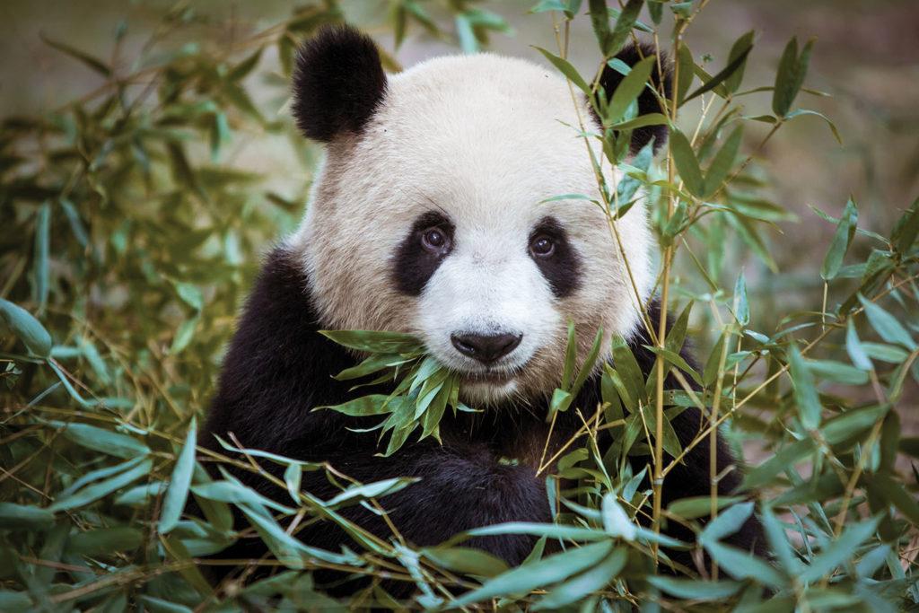 Si hei til en panda