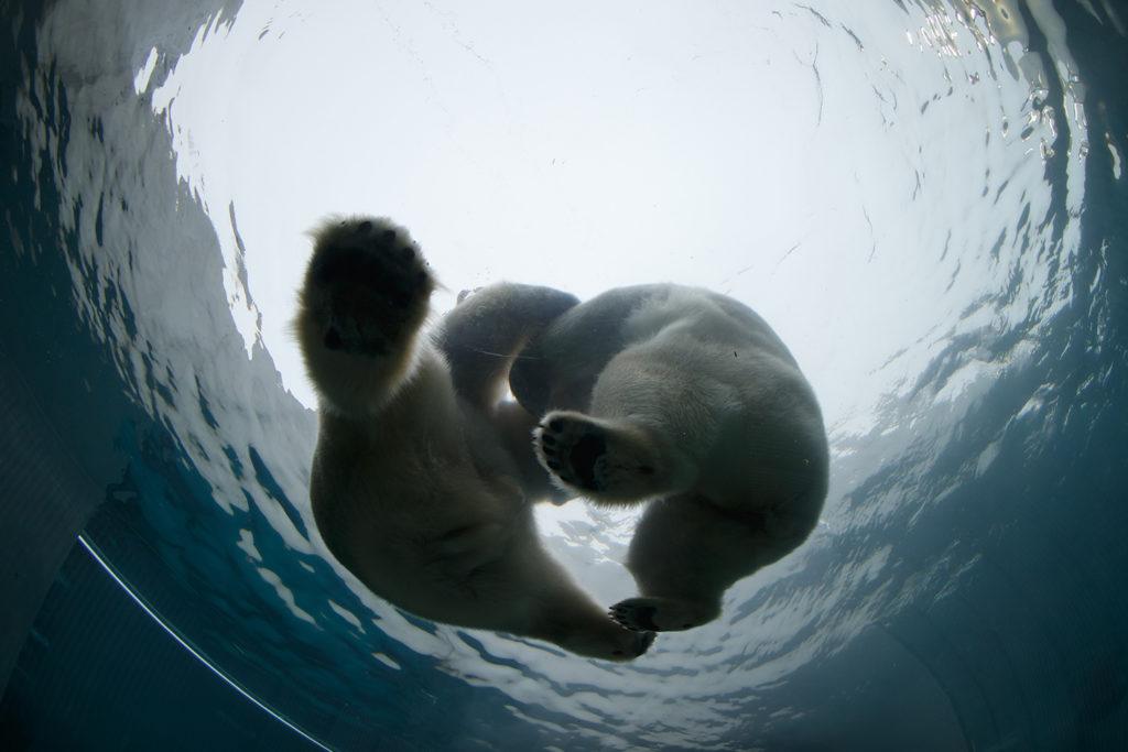 I Zoo kan du se isbjørner