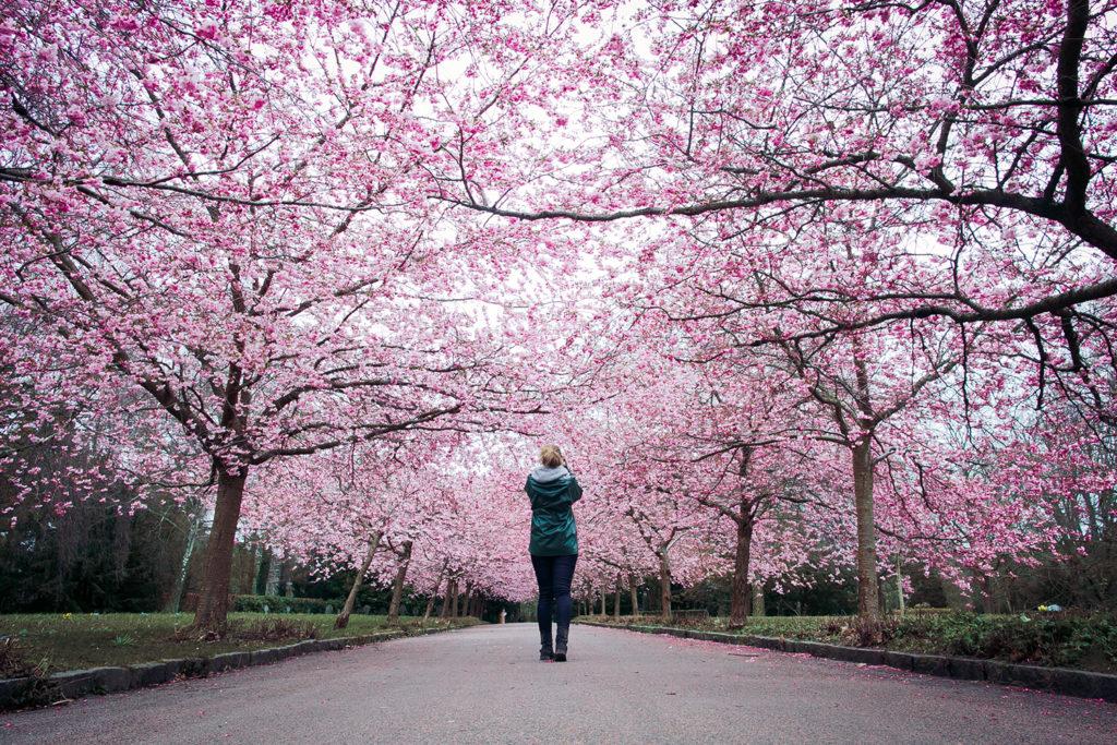 Kirsebærblomster på Bispebjerg kirkegård
